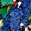 Винные сорта винограда