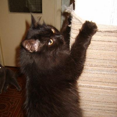 Кот дерет обои