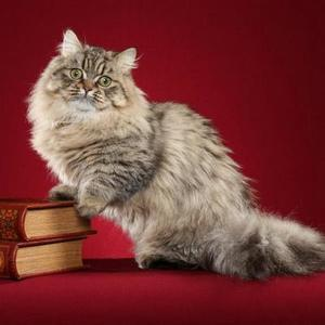Кошка Наполеон