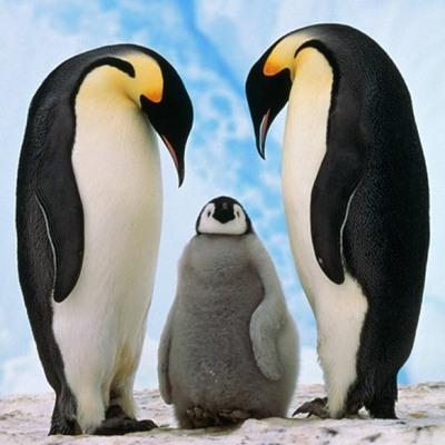 Императорский пингвин