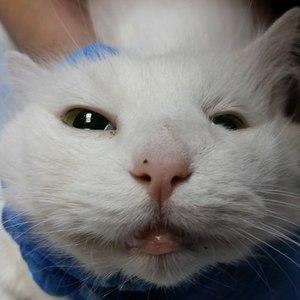 Абсцесс у кошек