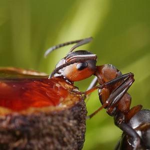 Чем питаются муравьи