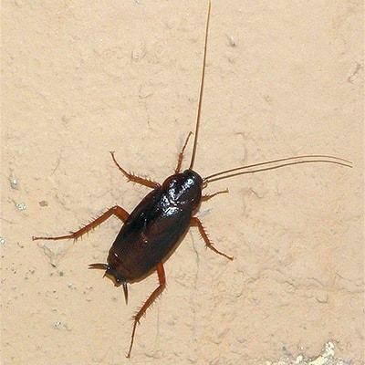 Черные тараканы в квартире