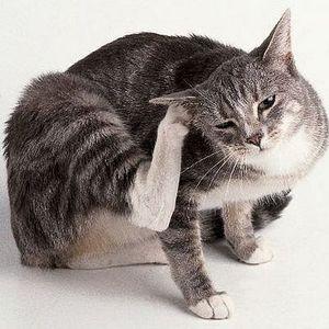 Почему кошка чешет уши