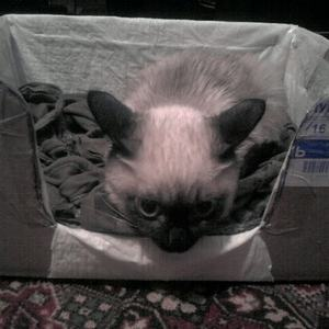 Лечение чумки у кошек