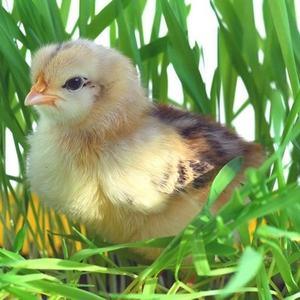 Разведение цыплят