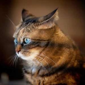 Дирофиляриоз у кошек