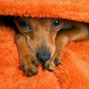 Дирофиляриоз у собак
