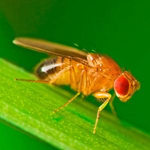 Виды мухи-дрозофилы