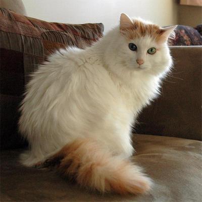 Редкие породы кошек