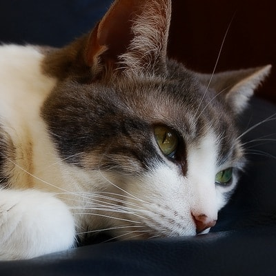 Токсокароз у кошек