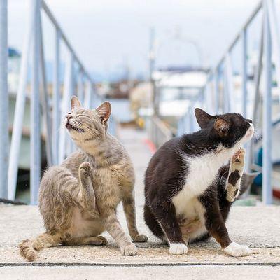 Власоеды у кошек