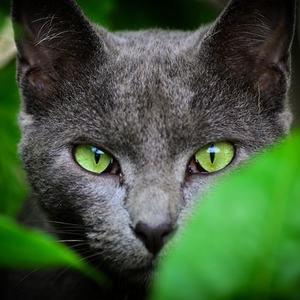Серые породы кошек