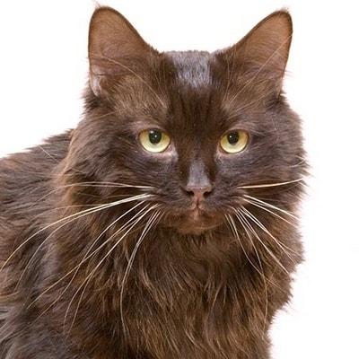 Йоркская шоколадная кошка