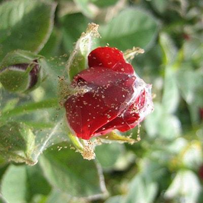 Паутинный клещ на розах, яблонях