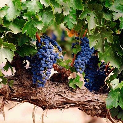Как сформировать виноградную лозу