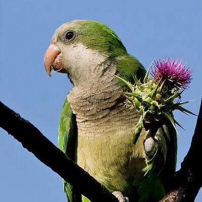 Попугай-монах