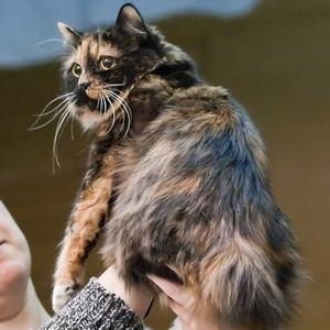 Кимрийская кошка