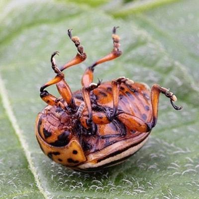 Как выглядит колорадский жук