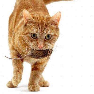 Кошки – крысоловы