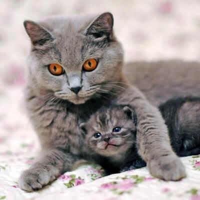 Когда можно забирать котенка от кошки