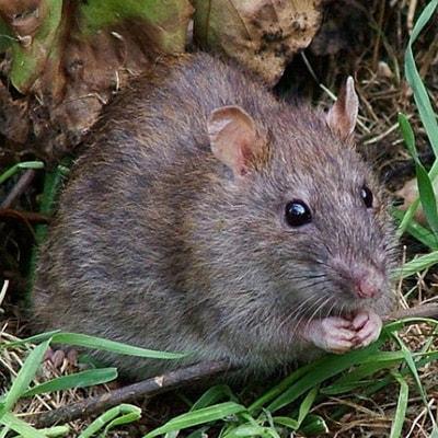 Крыса
