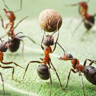 Иерархия муравьев