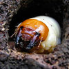Личинка майского жука и медведки