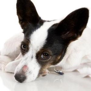 Микроспория у собак