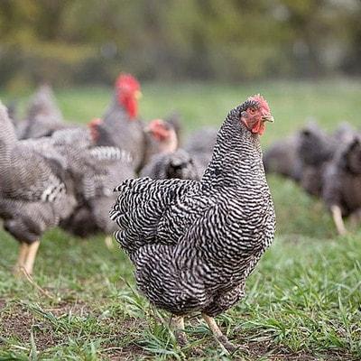 Яйценосные породы кур