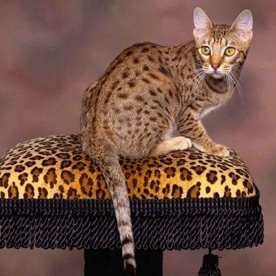 Породы пятнистых кошек