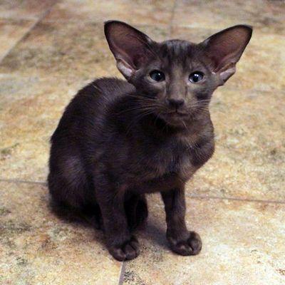 ориентальная кошка здоровье