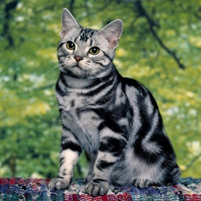 кошки полосатые породы фото