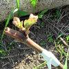 Прививка винограда весной