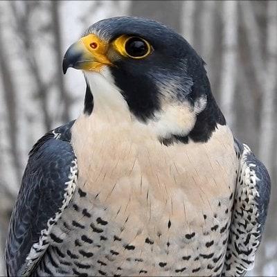 Сапсан птица