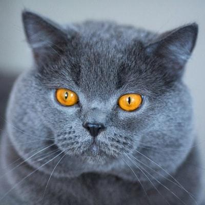 картезианская кошка фото