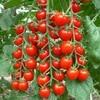 Томат Сладкая гроздь