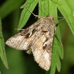 Совка бабочка