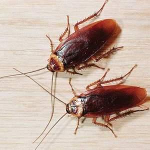 Кусаются ли тараканы