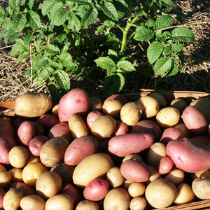 Средства от картофельной моли