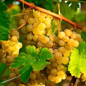 Как удобрять виноград