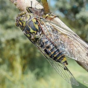 Виды цикад