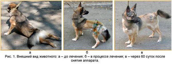 Признаки дисплазии тазобедренных суставов у собак