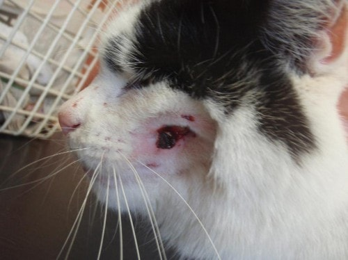 Чем лечить нарыв на щеке у кота