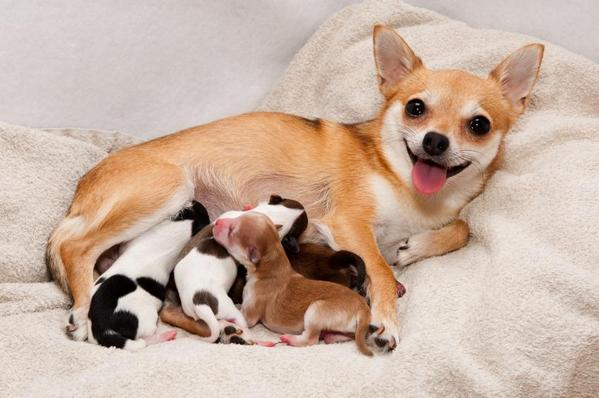 Роды у мелких пород собак видео