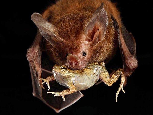 Чем питаются летучие мыши в домашних условиях  353