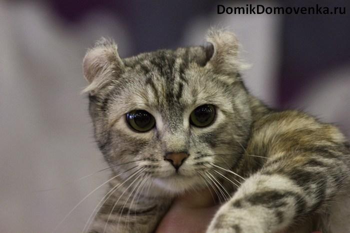Кошка Керл