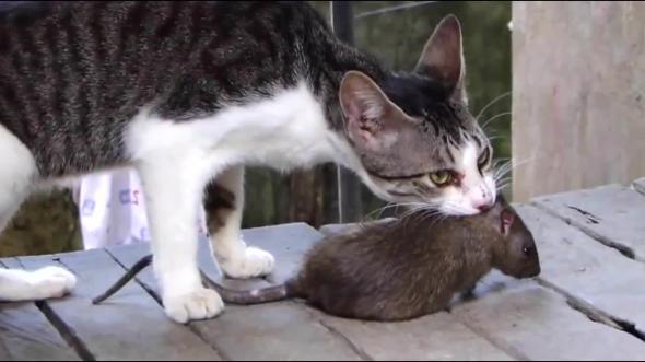 кошки ловящие мышей породы