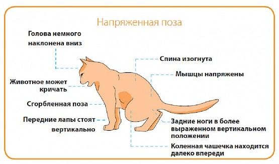 Обострение мкб у кота что это