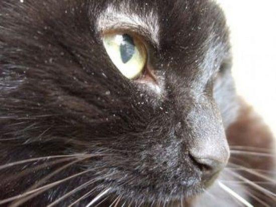 Почему появляется у кошек перхоть